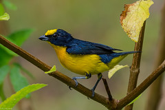 Fresh from the shower (Fred Roe) Tags: nikond7100 nikonafsnikkor200500mm156eed nature naturephotography national wildlife wildlifephotography animals birds birding birdwatching birdwatcher euphonia thickbilledeuphonia euphonialaniirostris colors outside feet flickr canopycamp panama