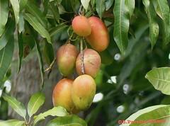 A bunch of riped mangoes (or mangos), El Salvador (Sebastiao P Nunes) Tags: lumixfz300 panasonic nunes snunes spnunes spereiranunes elsalvador manga mango mangoes mangiferaindica anacardiaceae