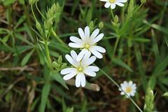 Greater Stitchwort (worldthroughalens74) Tags: stitchwort uk england nature staffs wildflower flower white spring outdoors canon sigma