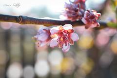 Spring (Arisu Saktos) Tags: spring flower tree nature closeup macro nikon nikond5200 pink apple soft pretty