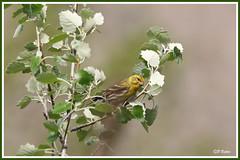 Serin cini 190423-01-P (paul.vetter) Tags: oiseau ornithologie ornithology faune animal bird serincini europeanserin serínverdecillo milheirinha girlitz serinusserinus
