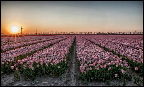 Sunset tulpen Flevoland