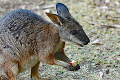 Wallaby . Franz gave me this delicious apple! (Uhlenhorst) Tags: 2010 australia australien animals tiere travel reisen coth