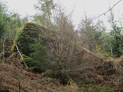 Brimpts Rocks in Northern Wood (large pyramid) (Bridgemarker Tim) Tags: lesserknowntors dartmoor riverdart babeny
