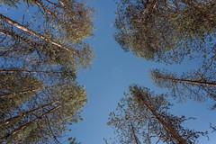 Finnland 2019 (Stefan Giese) Tags: nikon d750 finnland lappland oulanka nationalpark trees baumkrone bäume
