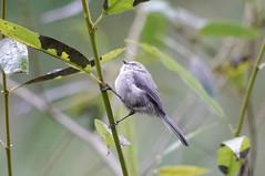 Bushtit (psychostretch) Tags: animal billyfrankjrnisquallynationalwildliferefuge bird bushtit psaltriparusminimus thurstoncounty washington