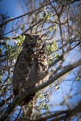 Great Horned Owl (Lisa Roeder) Tags: gho greathornedowl birds wildlife nature
