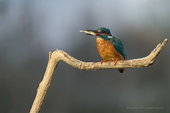 Kingfisher (Louise Morris (looloobey)) Tags: aq7i6470 alcedoatthis kingfisher fishing bourne flash hide overnight 0419