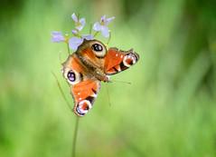 0060-2048 (alowlandr) Tags: butterfly nature green closeup macro beauty beautyinnature grass spring colorful