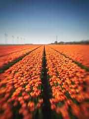Tulip field (alowlandr) Tags: spring tulip flower bloom flowerfield tulipfield sky nature nopeople floral beautyinnature beauty blossom creil noordoostpolder lensbaby sol22