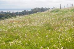 IMG_1460 (Pigeon Travels) Tags: 2019 arboretum california flowers garden nature santacruz trees ucsantacruzarboretum
