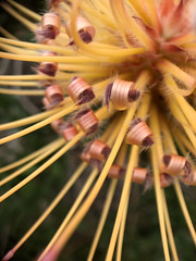 IMG_6455 (Pigeon Travels) Tags: 2019 arboretum flowers garden nature plants santacruz ucsantacruzarboretum