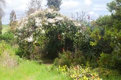 IMG_1448 (Pigeon Travels) Tags: 2019 arboretum california flowers garden nature santacruz trees ucsantacruzarboretum