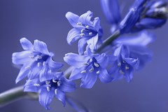Blue for you - ME 2019 for Maria  Smile on Saturday! (Sue Armsby) Tags: flower bluebells blue woods garden outside outdoors stem sun light nature green macro wednesdaymacro bokeh dof smileonsaturday blueforyoume2019