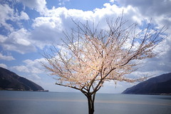 Lake Biwa, Kaizu Osaki, cherry blossoms. (gotto510) Tags: lakebiwa kaizuosaki cherryblossoms japan japon ricoh ricohgriii ricohgrⅲ griii gr3 grⅲ light twilight