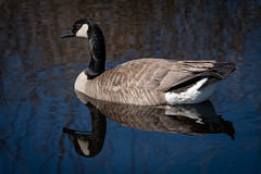 Canada Goose (Walt Polley) Tags: 200500mmf56eedvr canadageese harrietalexandernaturecenter mallard nikond500 rosevilleminnesota copyright©2019waltpolley ©walterpolley