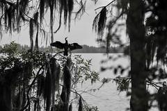 Anhinga Silhouette (ap0013) Tags: florida fl fla nature wildlife animal bird birding circleb barreserve lakeland lakelandflorida silhouette anhinga