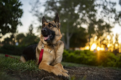 Such a good girl! (roo_d) Tags: german shepherd sony aputure led golden hour sunset animal pet dog sun