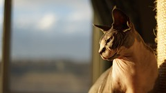 Using Voigtlander 35mm f1.4 on my cat. It's good that he stays still while i worked on the manual focus (dhy27) Tags: voigtlandernokton35mm sony ilce7r f14 35mm sphynx voigtlander35mm14