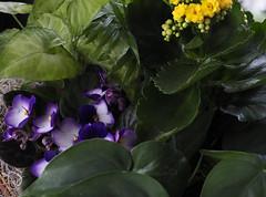 Sans titre/Untitled (bd168) Tags: delicate délicates fleurs flowers violets violettes africaines african arrangement florist juliette fleuriste plantesgrasses jaune yellow bleue white blanche vert greenery plantesenpot pottedplants verdure em10markii m1240mm f28 pro natural light lumière du jour