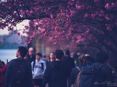 Nature's Gateway (Brian D' Rozario) Tags: brian19869 briandrozario nikon d750 cherryblossom cherryblossoms 70300mm telephoto nature flora floral flower pink pollen spring bloom crowd people enthusiasts dof depthoffield nyc newyork newyorkcity tree trees plant plants planet easter