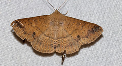 ecosystem/fauna/Sober Tabby(Ericeia inangulata) (biodiversity western ghats(before it is gone)) Tags: taxonomy:binomial=ereceiainangulata erebidae erebinae hulodini indianmoths