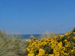Gorse in bloom, Findhorn Beach, Findhorn, Moray Coast, Good Friday 2019 (allanmaciver) Tags: gorse beach findhorn good friday easter moray coast yellow pricky cocunut rushes sand sea wind breeze blue shades allanamciver