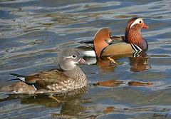 Mr & Mrs Mandarin (Eleanor (No multiple invites please)) Tags: ducks mandarinducks malemandarinduck femalemandarinduck water thelongwater kensingtongardens london nikond7100 march2019 coth5