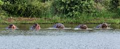 Etude d'hippopotame (Nat_L2_photographies) Tags: hippopotame rivière river kruger afriquedusud southafrica wildlife eau