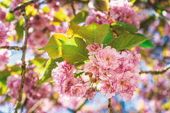 Japanische Blütenkirsche 1/3 (GOFOT) Tags: outdoor sony sonyilce7m2 japanischeblütenkirsche pink rosa baum tree japanesecherry cherry kirsche kirschbaum sonyfe2870mm 2870mm