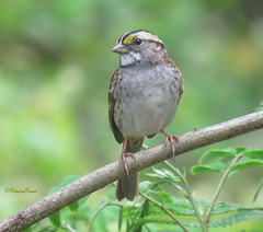 female white-throated sparrow2 (Patricia Pierce) Tags: femalewhitethroatedsparrow whitethroatedsparrow sparrow alabamawildlife alabamabackyardwildlife audubon mobilealabama nationalwildlifefederation thenatureconservancy backyardwildlife alabama