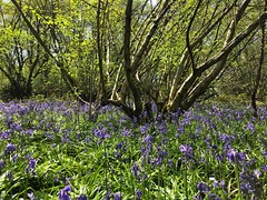 Bluebells In The Wood (Marc Sayce) Tags: bluebells old down wood countryside ropley soke four marks hampshire spring april 2019
