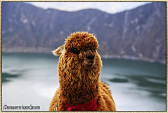 LA LANA DE LOS DIOSES. THE WOOL OF THE GODS. COTOPAXI-ECUADOR. (ALBERTO CERVANTES PHOTOGRAPHY) Tags: animal alpaca wool gods cotopaxiecuador cotopaxi ecuador republicadelecuador retrato portrait streetphotography photography photoborder photoart art macro closeup bokeh quilotoa laguna lagoon lake sky montaña mountain inca indio indian indigena craterlake indoor outdoor blur cordilleradelosandes andes cordillera andean paisajeandino andino paisaje andeanlandscape lagunaquilotoa quilotoalagoon water volcan volcano luz light color colores colors brillo bright brightcolors river hill creative historia history icono iconic landscapes cold crater colorlight petphotography pet