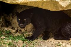 (Coco M.) Tags: blackjaguar jaguar felin parcdesfélins animauxsauvages animal bigcat cat d7100 nikon 70200 sigma nature