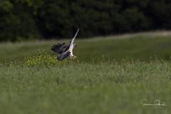 Swainson's Hawk (Stephen J Pollard (Loud Music Lover of Nature)) Tags: swainsonshawk aguililladeswainson bird ave birdofprey avedepresa averapaz raptor buteoswainsoni