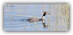 Great Crested Grebe (Ric_D) Tags: grebe wildlife birds nature ni uk northernireland oxfordisland loughneagh
