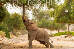 Hoanib Desert Elephant Bull stretching V2 (Denis Roschlau Photography) Tags: africa afrika busch damaraland elefant elephantidae hoanib kaokoland kaokoveld kunene loxodontaafricana namibia natur republicofnamibia republiknamibia säugetiere wüstenelefant african africanelephant afrikanisch afrikanischerelefant animals baum bull bulle desertadapted desertelephant elephant elfenbein ephemeral fluss ivory mammal mammals nature river rüssel southernafrica stoszahn stoszähne säugetier südlichesafrika tier trockenfluss trunk tusk tusks wildanimals wildetiere wildestier wildlife wildtier