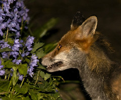 IMG_8733 (fletchlewista2) Tags: fox urban wildlife mamal bluebells canon