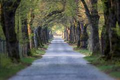green comes back (Fotos aus OWL) Tags: senne natur allee avenue frühling spring bäume strase