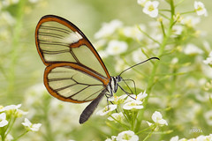 Glasswinged Butterfly (jt893x) Tags: 105mm afsvrmicronikkor105mmf28gifed butterfly clearwing d810 glasswing glasswinged gretaoto insect jt893x macro nikon thesunshinegroup coth alittlebeauty coth5 ngc