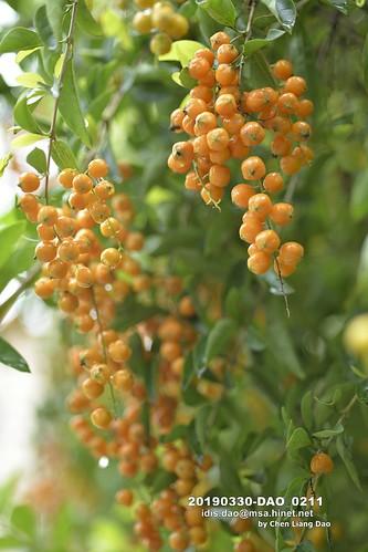 20190330-DAO_0211 一串串橘黃色蕾絲金露花的果實,金露花,花