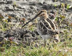 Snipe - Camouflaged On Water's Edge (Gilli8888) Tags: nikon p900 nature wetlands northumberland druridge druridgeponds birds northeast snipe beak bill camouflage watersedge waterbirds