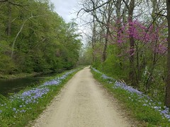 Phlox (mcfeelion) Tags: cycling bike bicycle bike180 2019bike180 cocanal spring wildflower potomacmd
