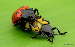 Leaf Beetles mating, Arescus sp., Chrysomelidae, Cassidinae (Ecuador Megadiverso) Tags: arescini arescussp beetle cassidinae chrysomelidae coleoptera focusstack leafbeetle sexualdimorphism