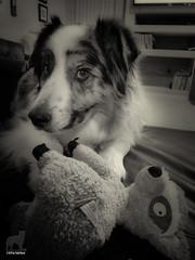 Can I interest you in Lemur? (Jasper's Human) Tags: aussie australianshepherd dog toy lemur