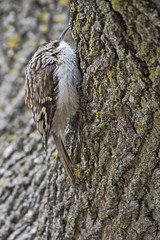 Resting (A.Joseph Images) Tags: brown browncreeper creeper bird green tree trees outdoor oiseux nature nikkor200500mmedf56vr nikon montreal quebec canada