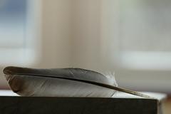 Lost feather (beatawozniak1968) Tags: stilllife atr feather macro closeup creative inspiration light bokeh photography pastels details texture