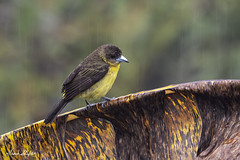 Female Flame-rumped Tanager  on a Rainy Day (Frank Shufelt) Tags: flamerumped tanager ramphocelus flammigerus thraupidae tanagers passeriformes songbirds aves birds nature wildlife altaquer nariño colombia southamerica 20190220 february2019 5167