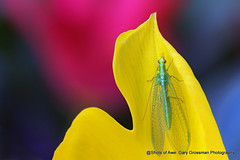 Lacewing (Gary Grossman) Tags: lacewing tulips flowers insect bug macro closeup spring northwest willamette oregon woodburn garygrossman garygrossmanphotography macrophotography woodenshoetulips willamettevalley pacificnorthwest