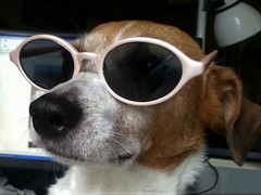 Hollywood Sammie (DDM Imaging) Tags: dog puppy animal animals dogs pet nature friend hollywood girl beagle fun love glasses camera color colors colour colours